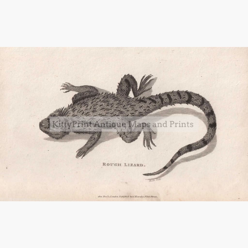 Rough Lizard 1801 Prints