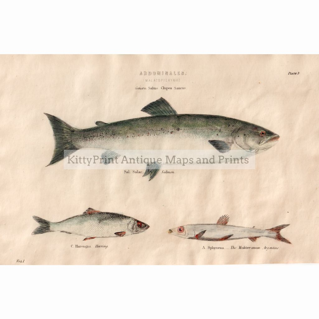 Salmon Herring Barracuda 1880. Prints