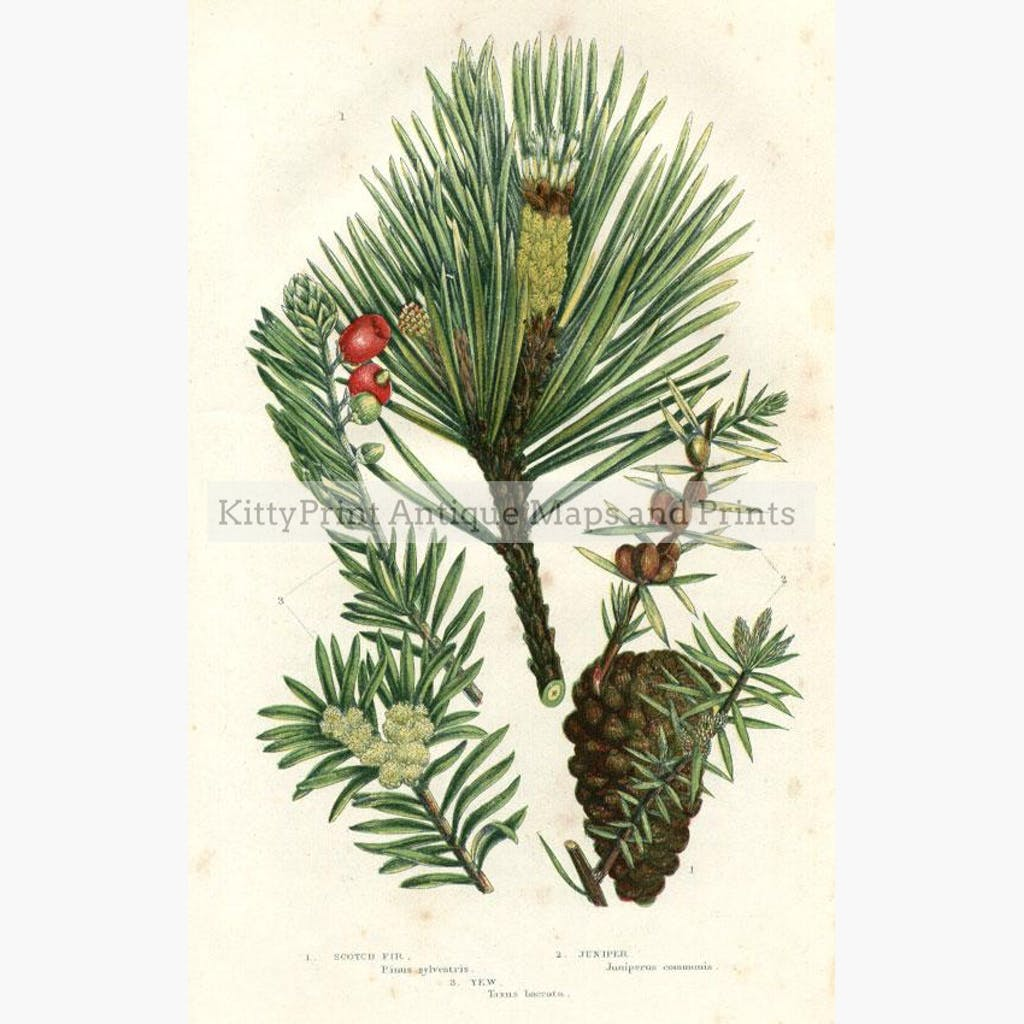 Scotch Fir Juniper Yew 1860 Prints KittyPrint 1800s Botanical (Plants)