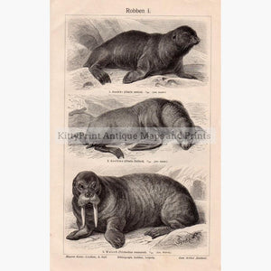 Sea lions 1906 Prints KittyPrint 1900s Monkeys & Primates