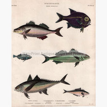 Set Of 2: Fish Ichthyology 1812. Mackerel Order Thoracici Prints