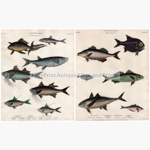 Set Of 2: Fish Ichthyology 1812. 2 Prints