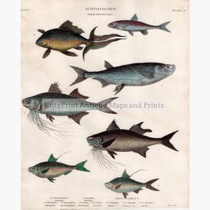 Set Of 2: Fish Ichthyology 1812. Herring Order Abdominales Prints