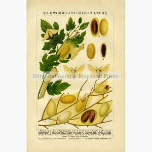 Silkworms and Silk-Culture c.1880 Prints KittyPrint 1800s Insects & Reptiles