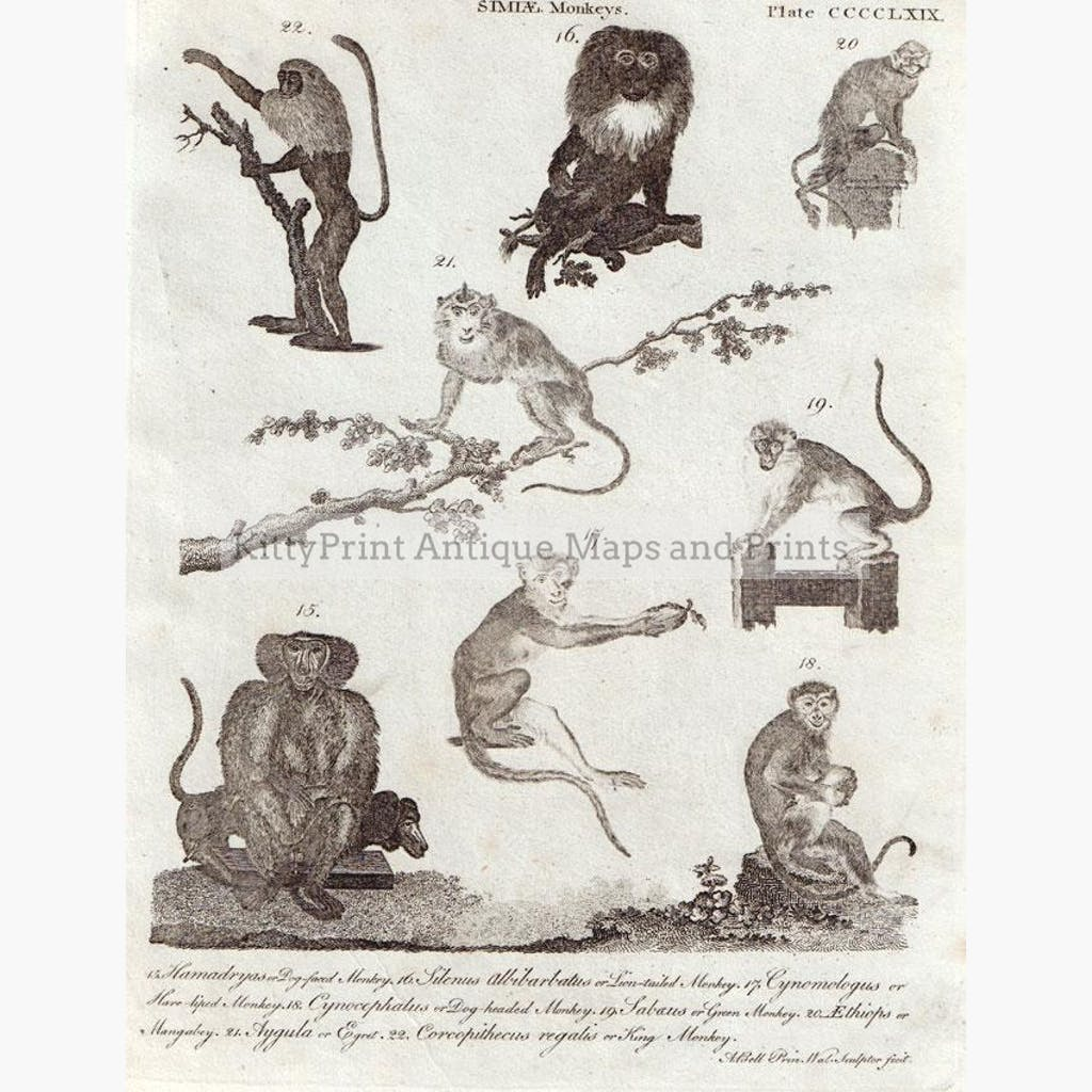 Simiae 8 species of Monkeys 1800 Prints KittyPrint 1800s Monkeys & Primates