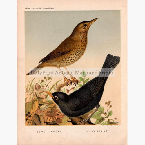 Song Thrush Blackbird  1880 Prints KittyPrint 1800s Birds