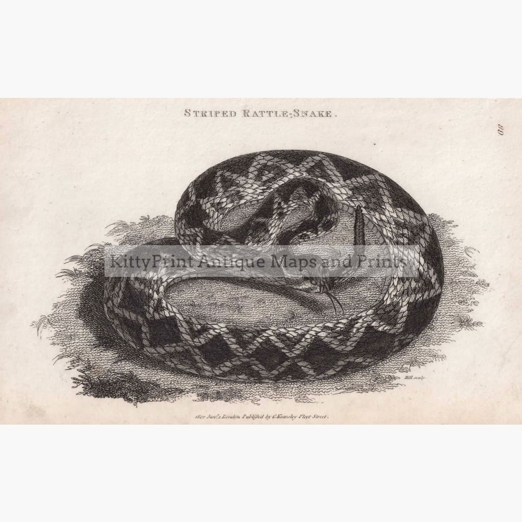 Striped Rattle-Snake 1802 Prints