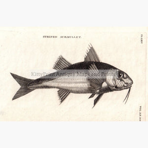 Striped Surmullet 1808 Prints