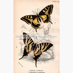 Swallow Tail butterflies 1896 Prints KittyPrint 1800s Insects & Reptiles