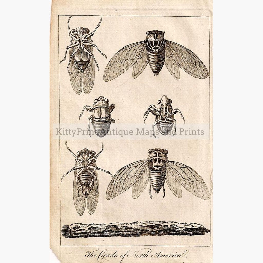 The Cicada of North America 1766 Prints KittyPrint 1700s Insects & Reptiles