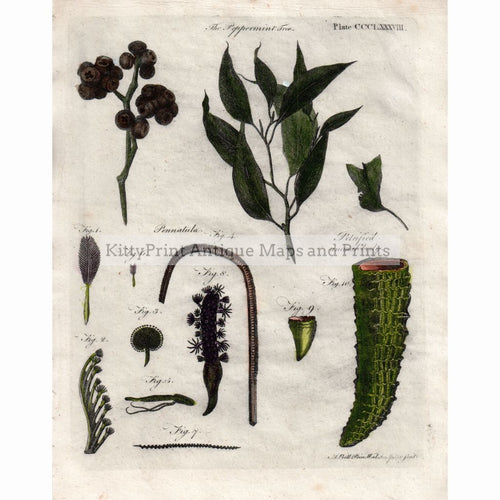 The Peppermint Tree Pennatula 1797 Prints