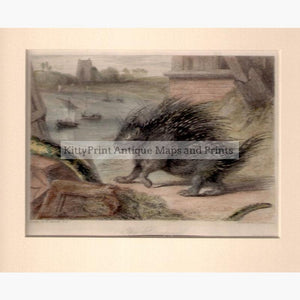 The Porcupine c.1840 Prints KittyPrint 1800s Monkeys & Primates