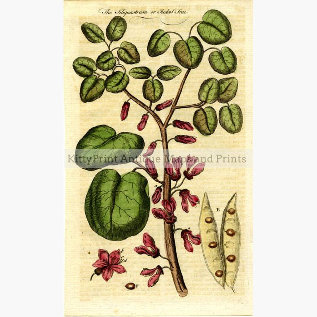 The Siliquastrum or Judas Tree 1712 Prints KittyPrint 1700s Botanical (Plants)