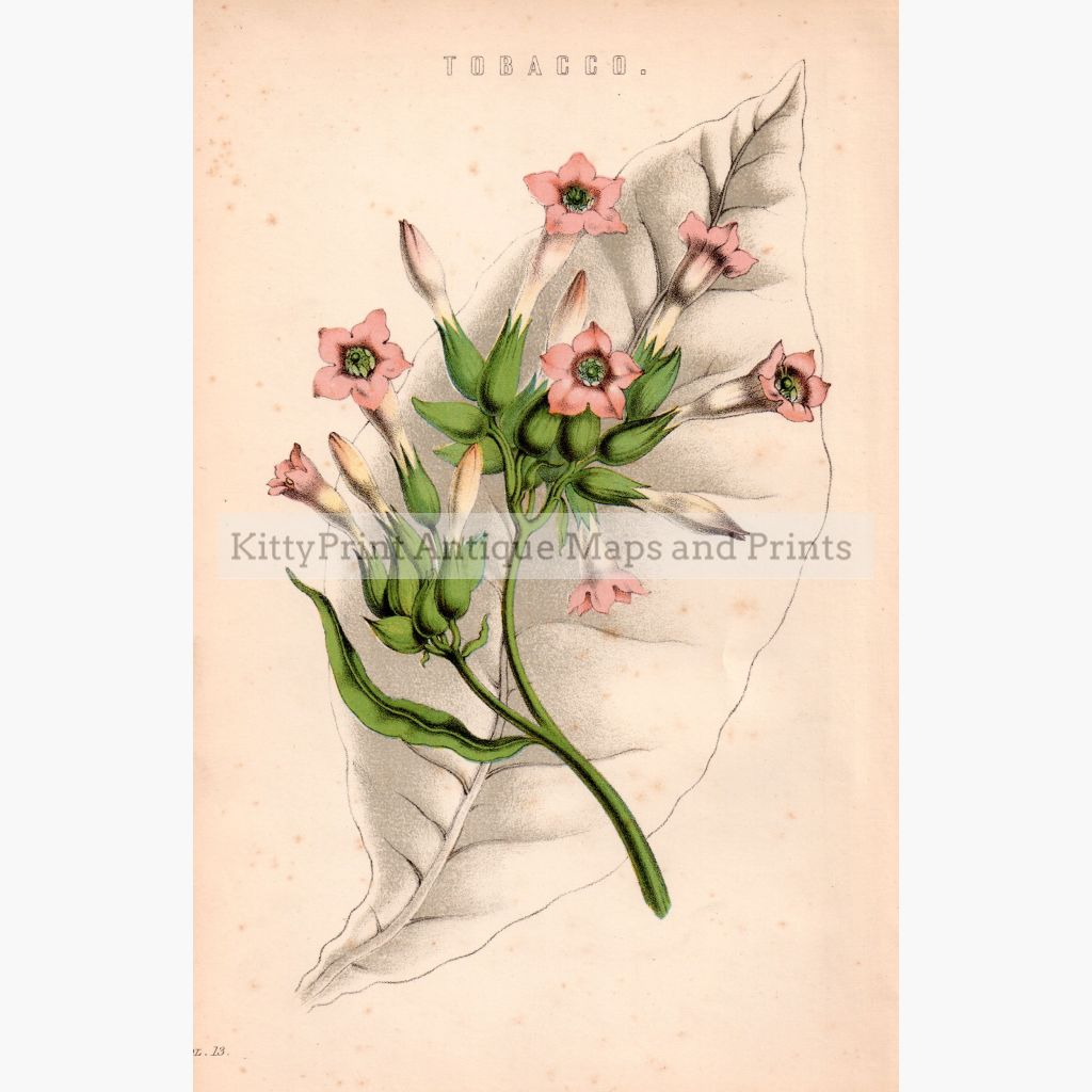Tobacco 1881 Prints
