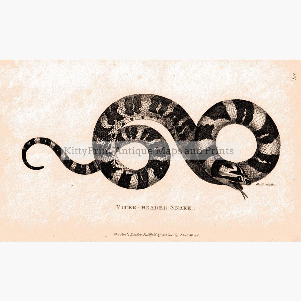 Viper-headed Snake 1804 Prints KittyPrint 1800s Insects & Reptiles