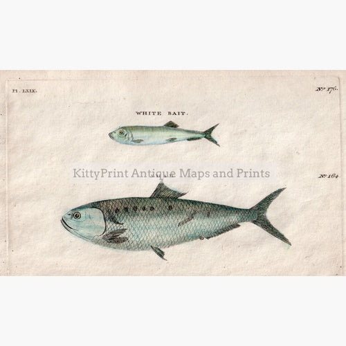 White Bait Shad 1808 Prints