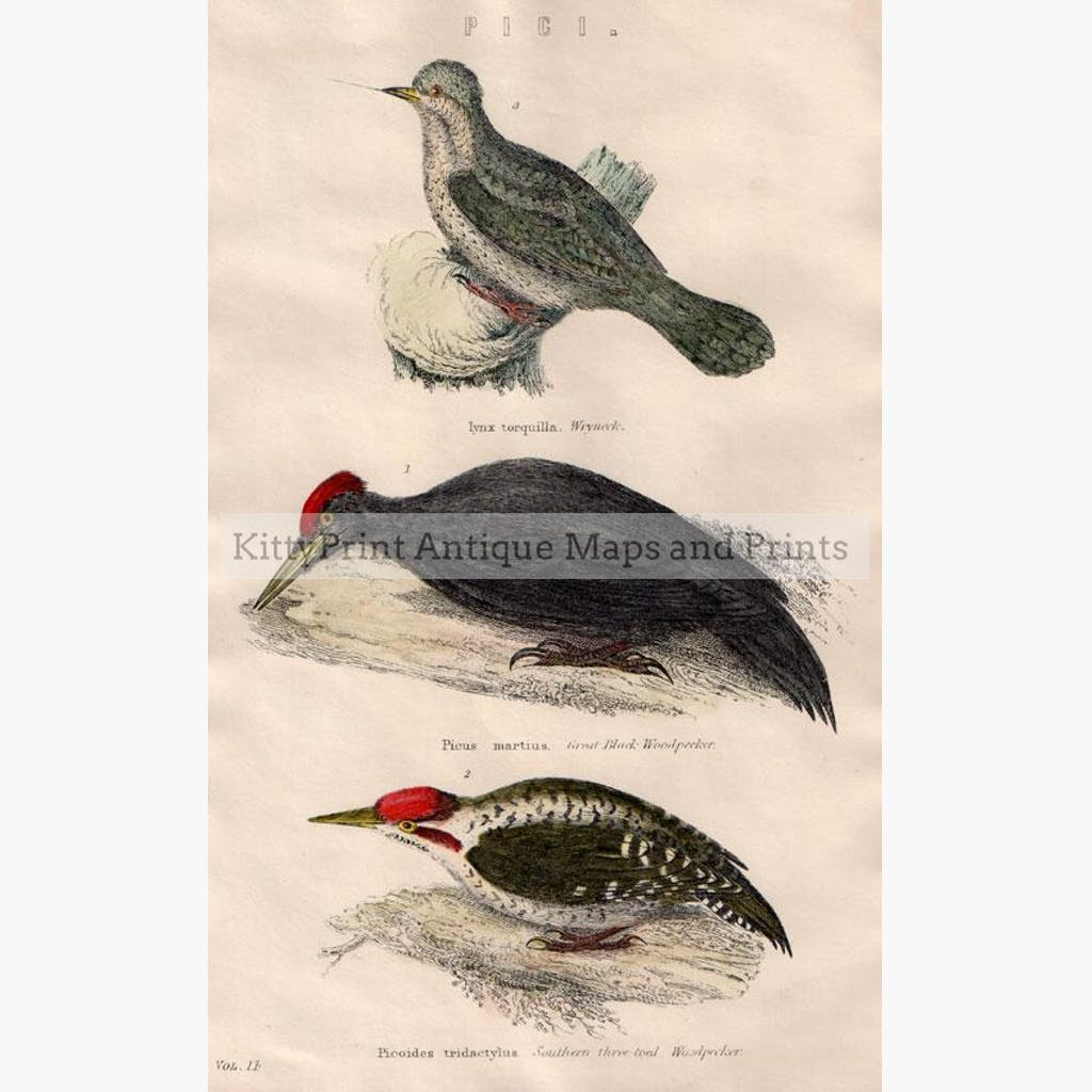 Woodpeckers c.1860 Prints KittyPrint 1800s Birds