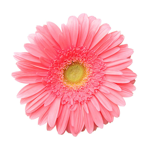 Gerbera daisy, single flower, flower head mural, single daisy, large daisy head, pink daisy, pink, girls room, real flower