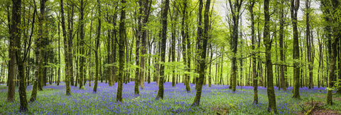 bluebell forest, forests, woodland, rustic, large mural, nature mural, trees, flowers,purple,green,