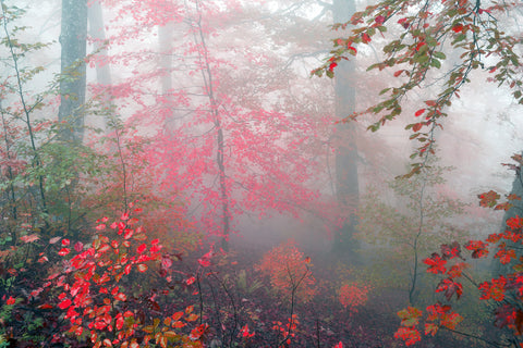 forest, trees, fall, morning, red leaves, misty, foggy morning, woods, tree mural,