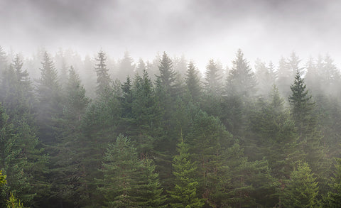 foggy forest, trees, mist, landscape, tree tops, green, grey, fog, mist, clouds,