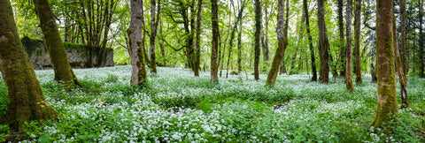 Forest, pretty forest, garlic forest, wild flowers, trees, outside, woodland setting, irish landscape, large mural,