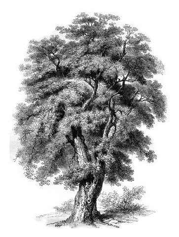 tree, black and white tree, old etching, etching of a tree, old fashioned tree, tree drawing, black and white,