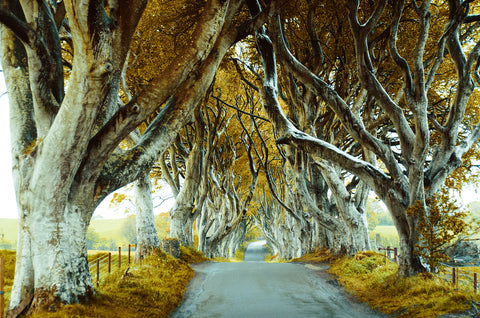 white trees, spooky, path, road, yellow, futuristic trees, branches, thrones, game of thrones, unusual landscape, rustic, Trees,