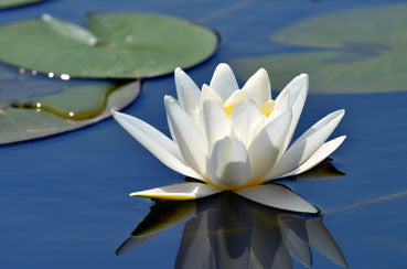 <strong>White Lotus Forms</strong> Rare & Exotic