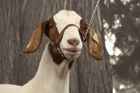 Image of Brahma Goat Halter w/Chain Lead