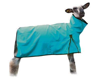 Sheep Blanket Canvas