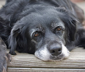 Caring For Your Older Dogs