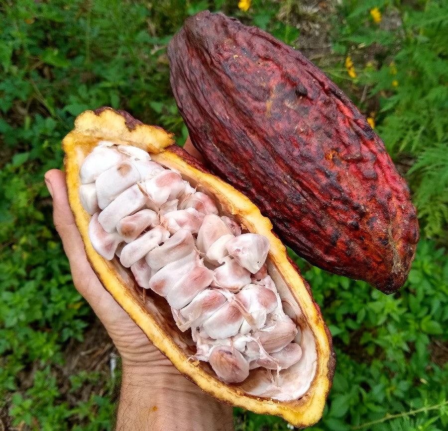 Cocoa Fruits and pods