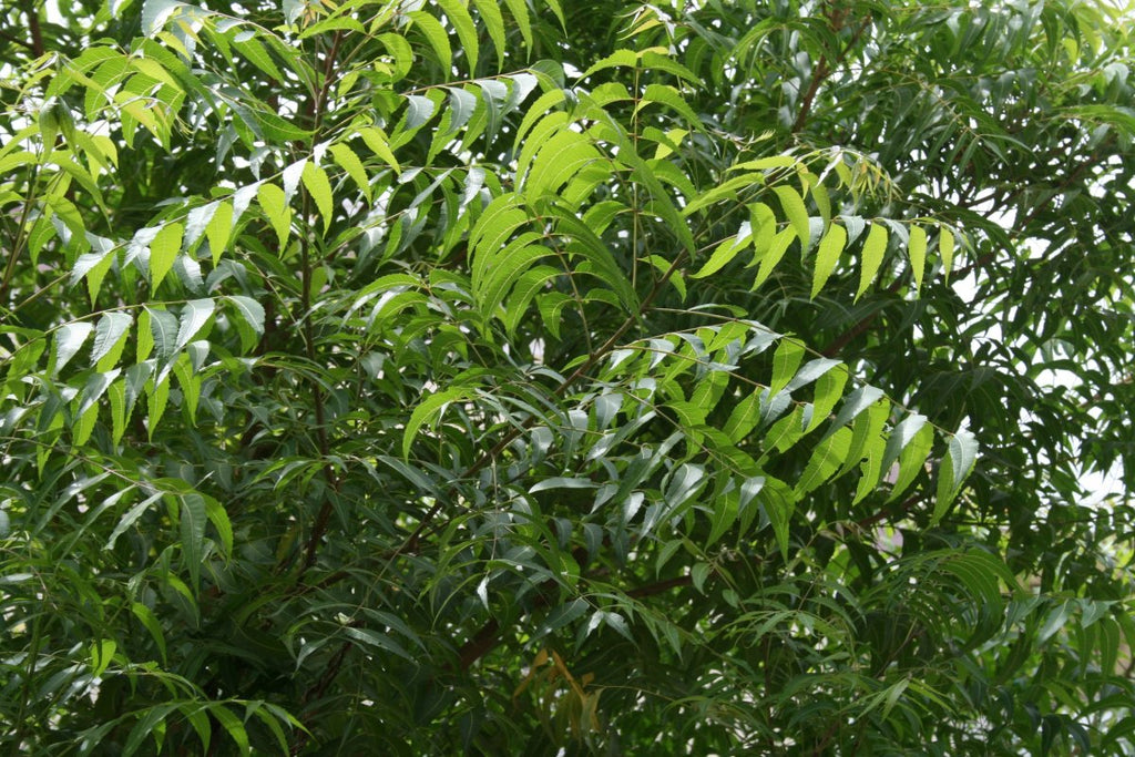 neem tree - uses and benefits