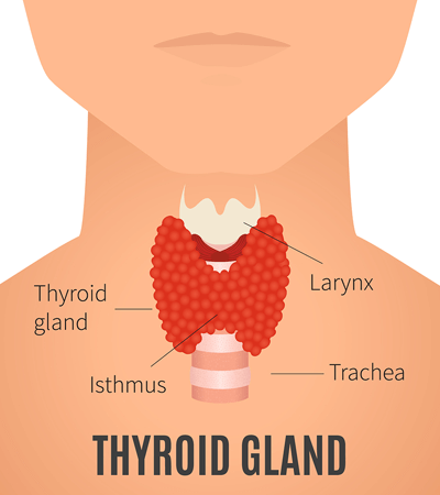 Illustration of Human Thyroid Gland