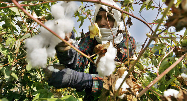 Egyptian Cotton Hand Harvesting
