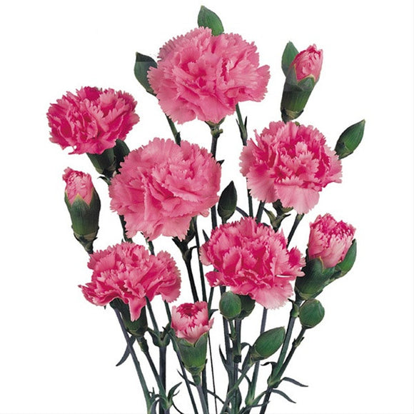 Trader Joe's Mini Carnations
