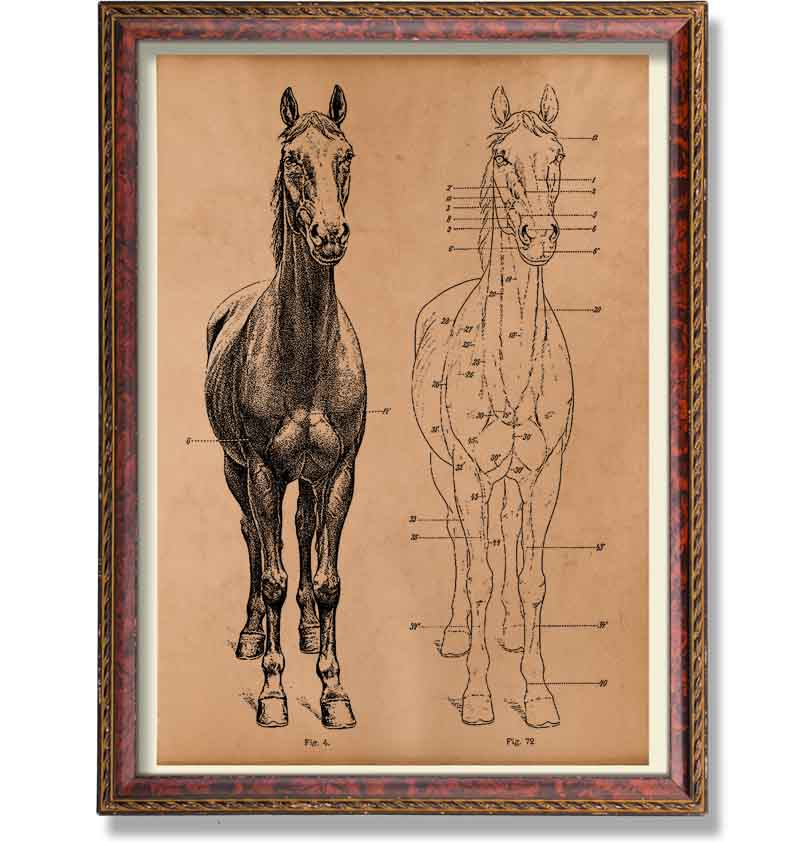 Vintage skeleton print Animal anatomy poster Horse decor - Antique ...
