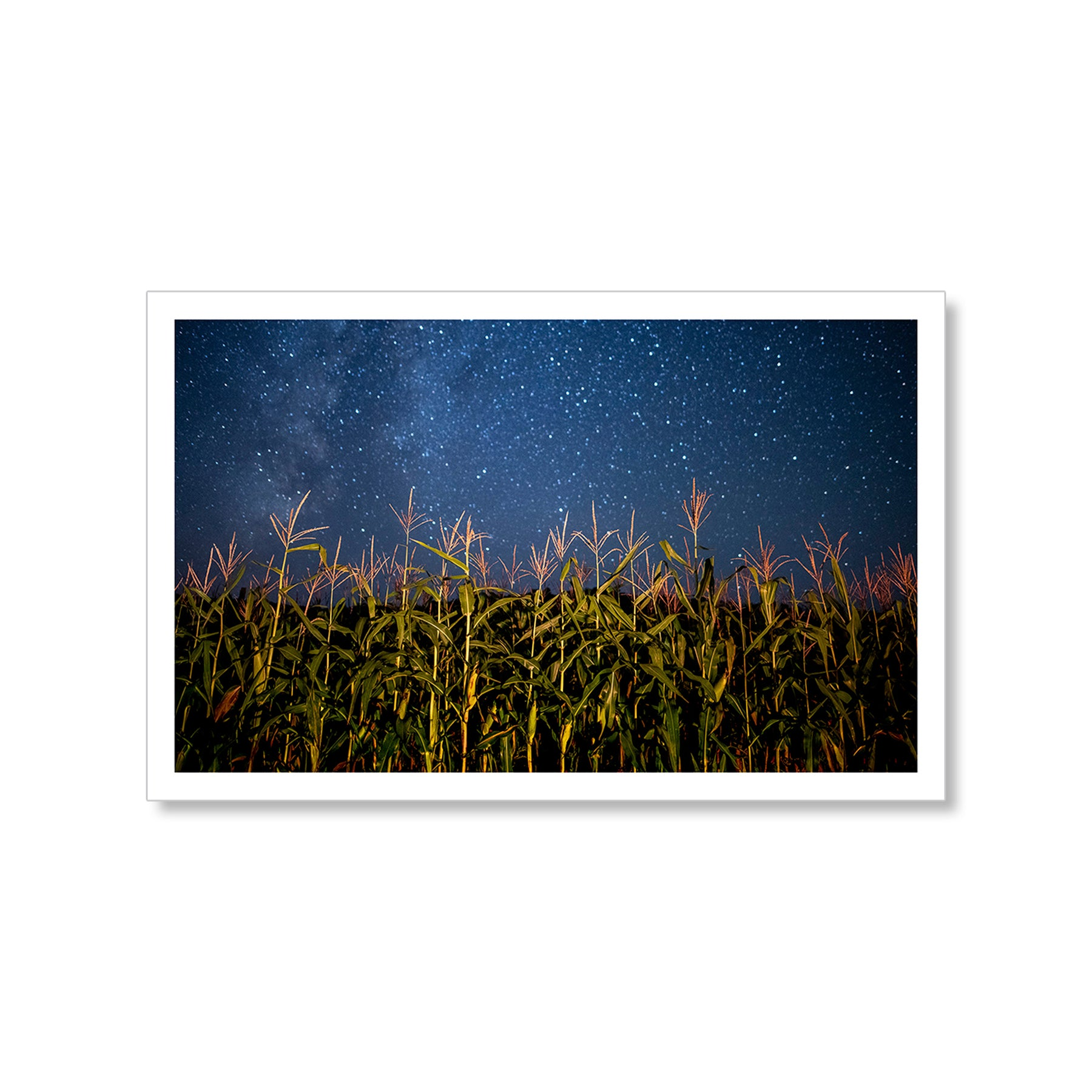 Star Maize Postcard