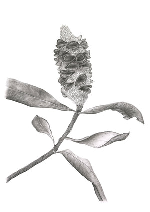Botanical Seed Pod | Limited Edition - Bells Fine Art