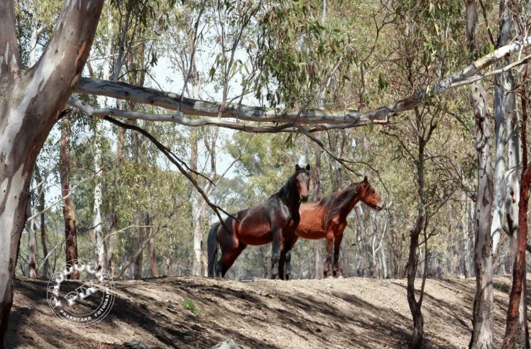 Barmah Brumbies - The Campaign To Keep Them Alive In Their Home