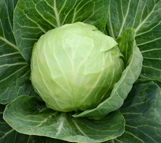 Green Cabbage (med)