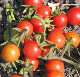 Organic Red Cherry Tomato (pint)