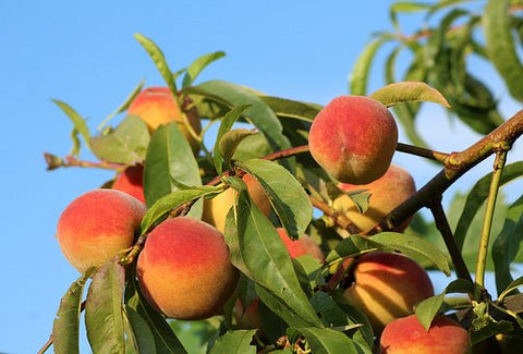 White Peaches - Michigan - 1/2 peck