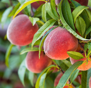 Redhaven Peaches 2 lbs