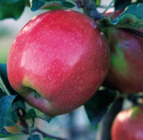 Northern Spy Apples - half peck
