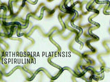 Live Spirulina: Maximum Density, Active Starter Cultures & Large Cultures