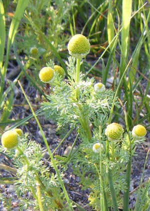 Today's Culinary Revelation: Pineapple Weed