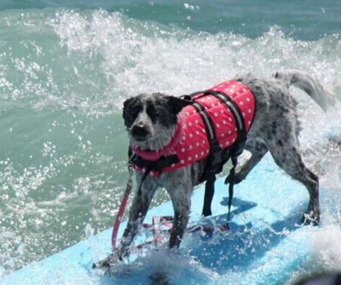 grey dog with pink life jacket surfing on blue surfboard