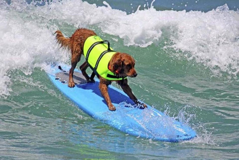surfing brown dog on blue surfboard